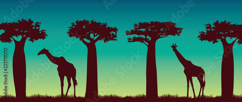Foto Giraffs, baobabs and night sky. African landscape.