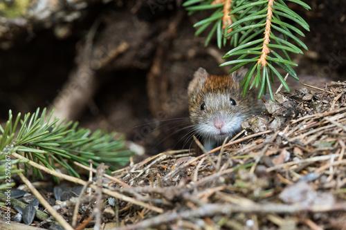 The bank vole (Myodes glareolus) near the hole