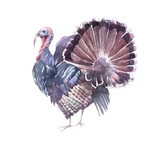 Funny Turkey With An Open Tail...