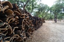 Korkeiche - Quercus Suber L