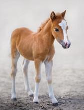 American Miniature Horse. Port...