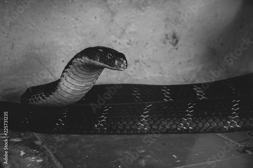 Photo  Animals in the zoo. venomous king cobra