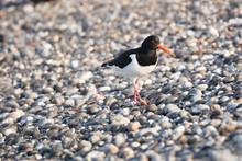 Oystercatcher On The Pebble Stone Beach