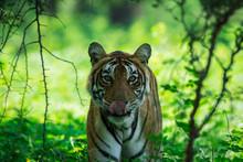 A Tigress Closeup In Green Bac...