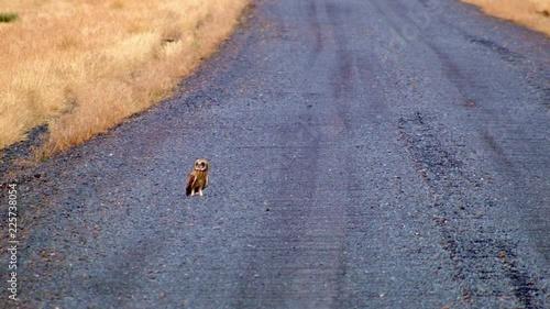 Loop of Short eared short-eared owl on gravel road Hart Mountain National Antelope Refuge Oregon 41