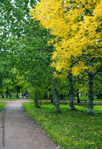 Birch Trees alley in the park with yellow and red autumn leaves