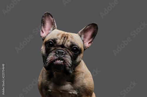 Bouledogue français Close-up photo of a growling pug on gray background.