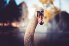 Swan At Pond