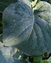 Wet Cabbage Leaves In The Vege...