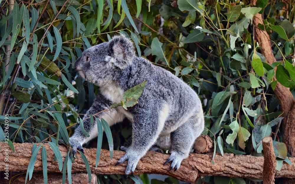Koala walking on a tree branch