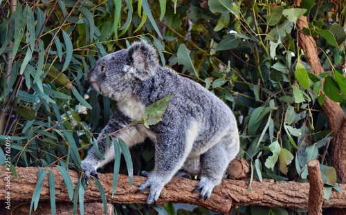 Poster Koala Koala walking on a tree branch