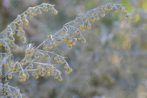 Stampa su Tela  Wormwood. Flowering absinthium. Medicinal plant. Background blur.