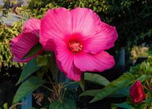 Beautiful Swamp Rose Mallow Flower