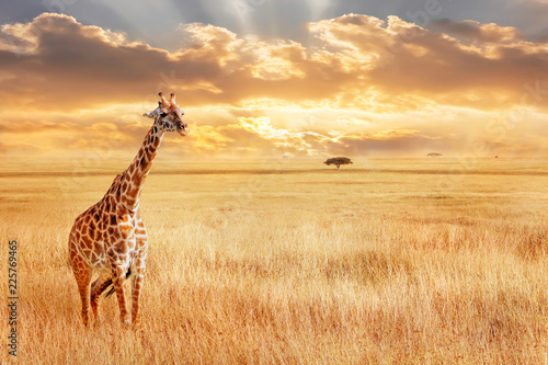 Lonely giraffe in the African savannah. Wild nature of Africa. Artistic African image.