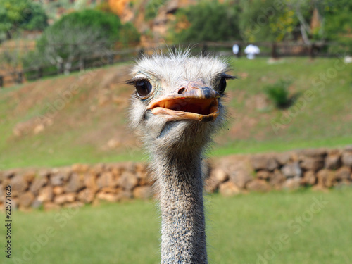 Photo  Portrait of a cute ostrich