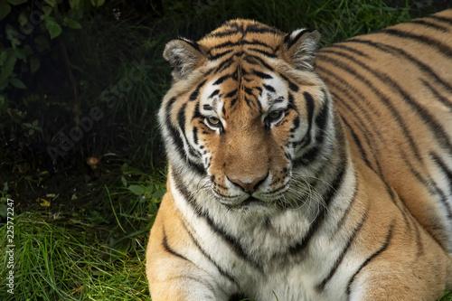 Siberian tiger at Alaska Zoo
