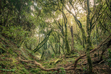 Evergreen Laurel Forest. Trees Covered With Moss , Anaga Rural Park In The Northeast Of Tenerife Canary Islands Spain