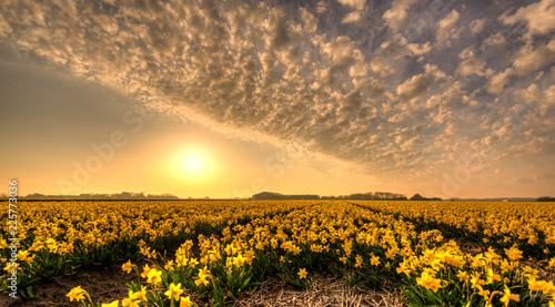 Acrylic Prints Flower shop Fields of golden daffodils.
