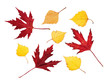 Red maple and yellow birch leaves on white background, isolated, close-up