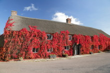 Thatched Cottage Covered With Boston Ivy In Autumn