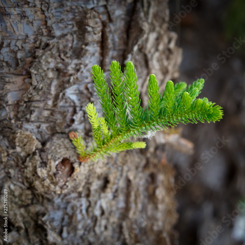 Small young sprig of pine grows from a thick old trunk as a symbol of the birth of the new otherwise minded generation
