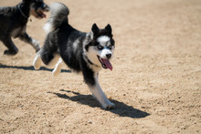 Pomsky Running With Tongue Out