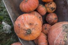 Tachanka With Pumpkins, Autumn Harvest Of Pumpkins
