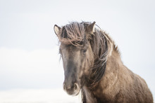 Brown Icelandic Horse In The S...