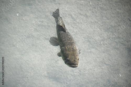 Fotografering  Tiger Fish (Hoplias malabaricus) in the coast of Parana River, Argentina