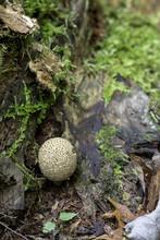 Puffball Mushroom In Forest