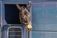 Horse Or Donkey With Its Head Sticking Out Of A Window In A Dirty Horse Trailer