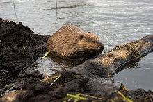 A Large Beaver Working On Its ...