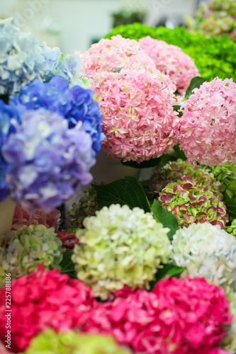 Hydrangea macrophylla - Beautiful flowers of different colors on counter in flower market for sale