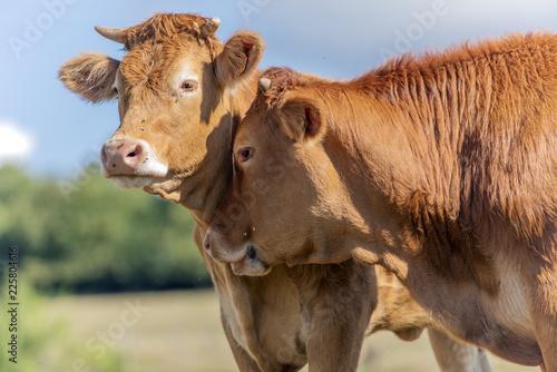 Cadres-photo bureau Vache Vaches dans le prés