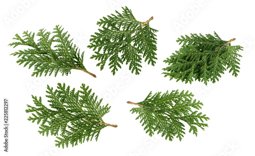 Foto  Branch of thuja isolated on white without shadow