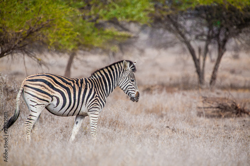 In de dag Zebra Zebra in the Hwange National Park, Zimbabwe