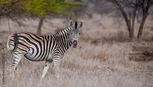 Tuinposter Zebra Zebra in the Hwange National Park, Zimbabwe