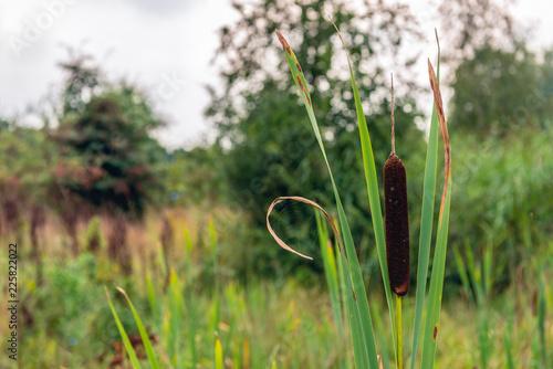 Fotografia, Obraz  Ripe female flower spike of broadleaf cattail