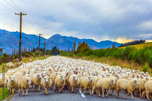 Fotografia, Obraz The sheep is moving along the highway
