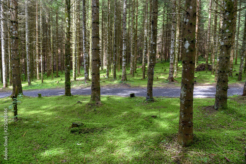 Trees in the forest at Engelberg on Switzerland