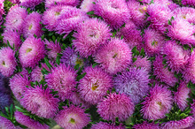 Frilly Purple Asters In The Su...