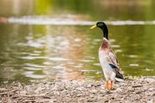 Indian Runner Duck, Anas Platy...