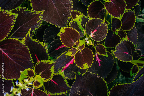 Foto op Canvas Bloemen Colorful green and red coleus plant leaves background.