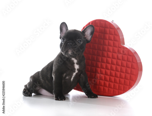 seven week old french bulldog puppy