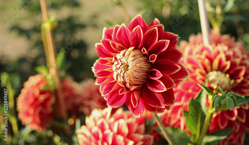 Foto op Plexiglas Dahlia red dahlia in the garden