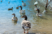 Seagulls, Swans And Geese As S...
