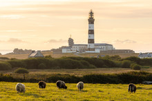Sheeps And Lighthouse In Brittany