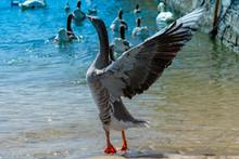 Goose As Seen In Geneva, Switzerland