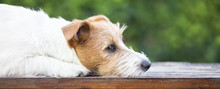 Furry Cute Jack Russell Dog Th...