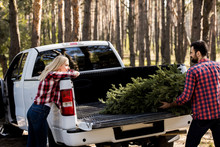 Young Couple Carrying Fir Tree For Christmas In Pickup Truck In Forest